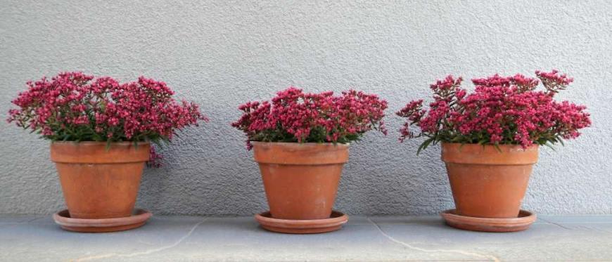 Tri rože v lončkih