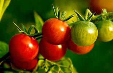 Kako dozoreti paradižnik-Vrtnarstvo Naglič