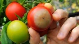 Pomanjkanje kalcija pri rastlinah, zelenjavi in sadju