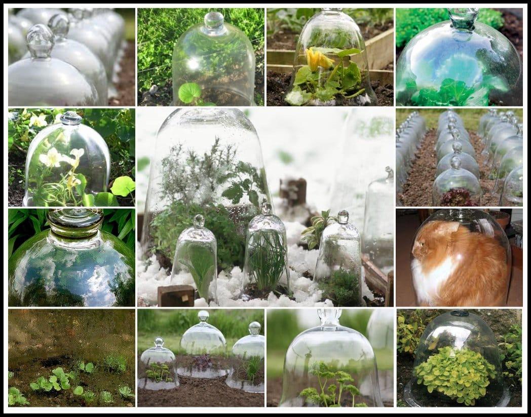 Zaščita rastlin pred vremenskimi vplivi s steklenim zvonom